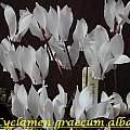 Cyclamen graecum ssp. graecum forma alba, Bill Dijk