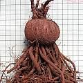 Cyclamen graecum ssp. anatolicum tuber, Mary Sue Ittner