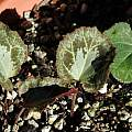 Cyclamen graecum leaves, Mary Sue Ittner