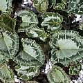 Cyclamen graecum ssp. anatolicum leaves, John Lonsdale