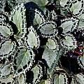 Cyclamen graecum ssp. anatolicum, John Lonsdale