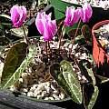 Cyclamen graecum ssp. graecum, John Lonsdale
