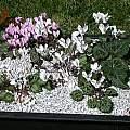 Cyclamen graecum ssp. graecum forma alba, John Lonsdale