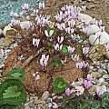Cyclamen graecum ssp. graecum tuber, Stavroula Ventouri and Stavros Apostolou