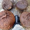 Cyclamen graecum ssp. graecum tubers, Stavroula Ventouri and Stavros Apostolou
