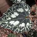 Cyclamen graecum ssp. mindleri, John Lonsdale