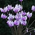 Cyclamen hederifolium, Arnold Trachtenberg
