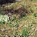 Cyclamen hederifolium, photo taken in Corfu by Hans Joschko