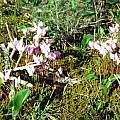 Cyclamen hederifolium photo, Corfu, Hans Joschko