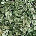 Cyclamen hederifolium, Diane Clement