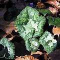 Cyclamen hederifolium, John Lonsdale