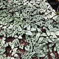Cyclamen hederifolium leaf variations, Pamela Harlow