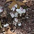 Cyclamen hederifolium 'Stargazer', John Lonsdale