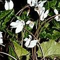 Cyclamen hederifolium forma albiflorum, Giorgio Pozzi