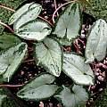 Cyclamen hederifolium foliage, Bill Dijk