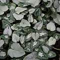 Cyclamen hederifolium leaf variations, Roland and Gemma