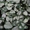 Cyclamen hederifolium leaf variations, Roland and Gemma
