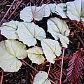 Cyclamen hederifolium, Mary Sue Ittner