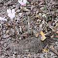 Cyclamen hederifolium tubers, John Lonsdale
