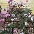 Cyclamen hederifolium var. confusum, John Lonsdale