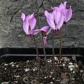 Cyclamen mirabile, Mary Sue Ittner