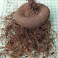 Cyclamen persicum tuber, Mary Sue Ittner
