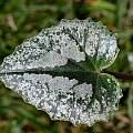 Cyclamen pseudibericum leaf, John Lonsdale