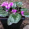 Cyclamen pseudibericum, Mary Sue Ittner