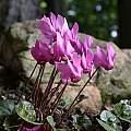 Cyclamen purpurascens, John Lonsdale