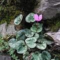 Cyclamen purpurascens, Northern Italy, Mary Sue Ittner