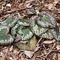 Cyclamen purpurascens leaves, John Lonsdale