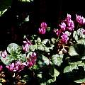 Cyclamen purpurascens, Hans Joschko