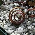 Cyclamen purpurascens setting seed, John Lonsdale