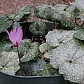 Cyclamen repandum ssp. peloponnesiacum, Mary Sue Ittner