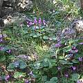 Cyclamen repandum ssp. peloponnesiacum, Antigoni Rentzeperis