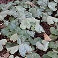 Cyclamen repandum ssp. rhodense, John Lonsdale