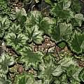 Cyclamen rohlfsianum, Dylan Hannon