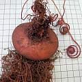 Cyclamen × drydeniae, tuber, seed Mary Sue Ittner
