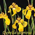 Cypella armosa, Bill Dijk