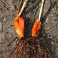 Cypella coelestis bulb, Nhu Nguyen