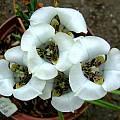 Cypella hauthalii ssp. opalina, Rogan Roth
