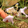 Cypella hauthalii ssp. hauthalii, Germán Roitman