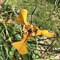 Cypella herbertii ssp. herbertii, Nicholas Plummer