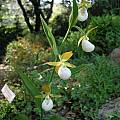 Cypripedium californicum, UC Botanical Garden