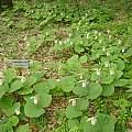 Cypripedium japonicum, Mari Kitama