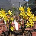 Cyrtanthus breviflorus form, Rogan Roth