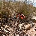 Cyrtanthus contractus, habitat, Cameron McMaster