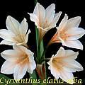 Cyrtanthus elatus, white, Bill Dijk