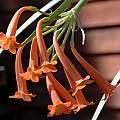 Cyrtanthus epiphyticus, Bob Rutemoeller