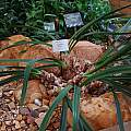 Cyrtanthus falcatus leaves, Kirstenbosch, Mary Sue Ittner